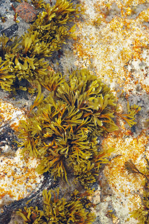 Seaweed Treatments