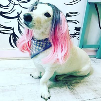 "Lemmy (pictured above) @lipsticklashesandlocks' ""salon mascot"" sports a pink ombre. What a..."