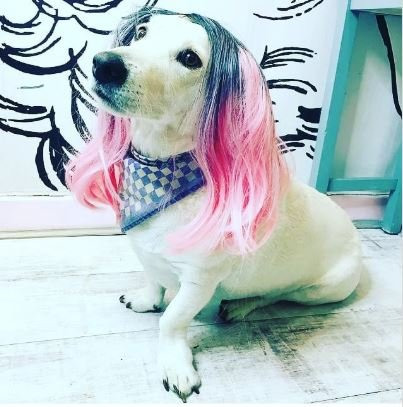 "Lemmy (pictured above) @lipsticklashesandlocks' ""salon mascot"" sports a pink ombre. What a perfect way join in on the salon's Halloween festivities!"
