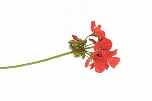 <p>Geranium - relaxing</p>