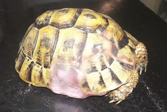Nail tech Shiri Keinan and veterinarian Ziv Dikman restored the shell of a turtle that had been hit by a car.