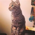 <p>Lubin's tabby cat Ralph.</p>