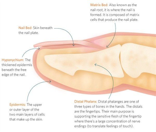 The Anatomy Of A Finger And Nail Health Nails Magazine