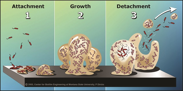 <p>This illustration shows the phases of biofilm growth. Illustration courtesy of Montana State University Center for Biofilm Engineering</p>