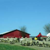 My Other Life: Melody Hopkins, Sheep Farmer