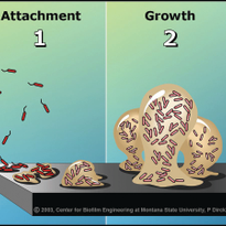 This illustration shows the phases of biofilm growth.                               Illustration...